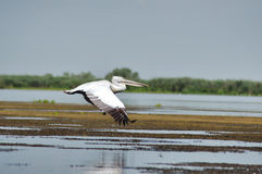 White pelican in flight, Danube Delta Royalty Free Stock Photography