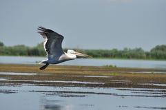 White pelican in flight, Danube Delta Stock Image