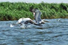 White pelican in flight, Danube Delta Stock Images