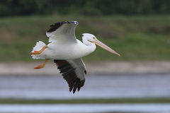 White Pelican in Flight - Florida Royalty Free Stock Image