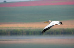 White Pelican in flight Stock Image