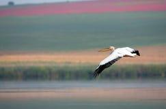 White Pelican in flight. Over lake Rosca Buhaiova reserve in the Danube Delta Stock Image