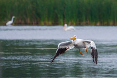 White Pelican in flight Stock Photos