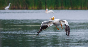 White Pelican in flight Stock Photography