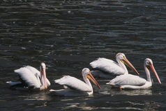 White Pelican Flotilla Royalty Free Stock Photography