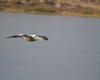 White pelican flying Royalty Free Stock Photos