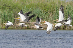 White Pelican flying. In danube delta Royalty Free Stock Image
