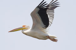 White Pelican flying. Close up of White Pelican flying in danube delta Royalty Free Stock Photo