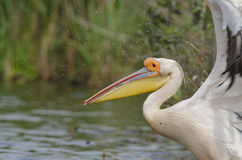 White Pelican flying. Close up of White Pelican flying in danube delta Stock Photos