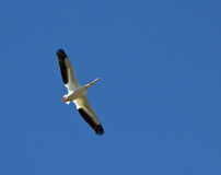 White Pelican Flying In A Blue Sky Stock Image