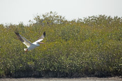 White pelican flying near mangroves at Merritt Island, Florida. American white pelican, Pelecanus erythrorhynchos, flying low over water with shrubs behind at stock photos