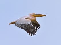 White Pelican Flying Royalty Free Stock Photography