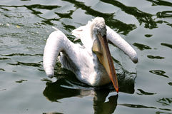 White pelican flying water Royalty Free Stock Images
