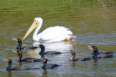 White Pelican Stock Photography