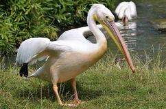 White pelican on grass Royalty Free Stock Image