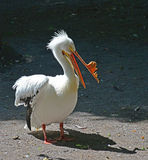 A White Pelican. The growth on his beak mean it is breeding time. Stock Images