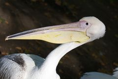 Closeup portrait of he white American pelican, Pelecanus erythrorhynchos, with red eye huge beak and crest in Hyde park royalty free stock image