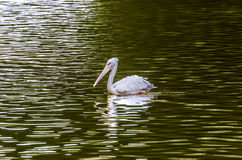 The White Pelican royalty free stock photos