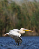 White Pelican In Flight Royalty Free Stock Images