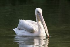 White Pelican in Lake. Great White Pelican in Lake Royalty Free Stock Photo