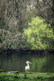 White pelican and lake in St. james's park Royalty Free Stock Photography