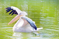 White pelican in the lake Stock Photography