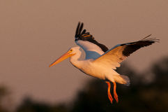 White Pelican Landing Royalty Free Stock Photo