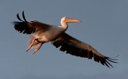 White Pelican Landing Stock Photos