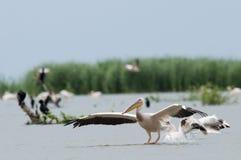 White Pelican Landing Stock Photography