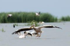 White Pelican landing Stock Photo