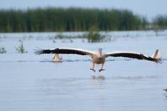 White Pelican Landing Royalty Free Stock Photos
