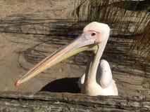 White pelican, large water bird. One white pelican, large water bird royalty free stock photos