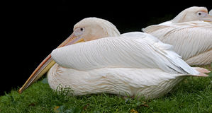 White pelican 8 Royalty Free Stock Images