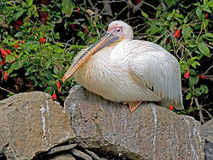 White pelican 9 Stock Photo