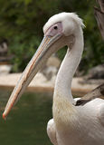 White pelican 11 Royalty Free Stock Photography