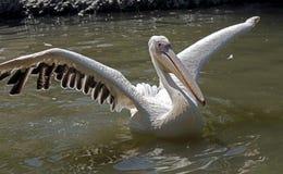 White pelican 15 Stock Image