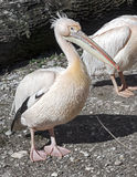 White pelican 17 Royalty Free Stock Photography