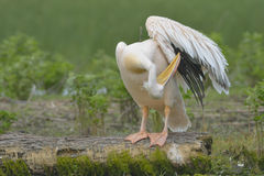 White Pelican on a Log Royalty Free Stock Photos
