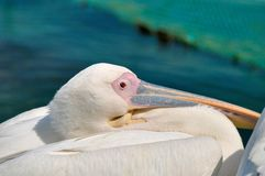 White Pelican looks with one eye into the camera lens. royalty free stock photography