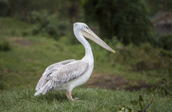 White Pelican on the meadow Stock Image