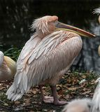 White pelican near the pond royalty free stock image