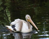 White Pelican in water Stock Photos