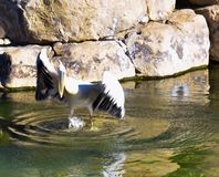 a white pelican with opened black and white wings on the water of a pond. The pelican is beating the wings making an effort to fly stock image