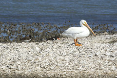 White Pelican and Oyster Catchers Royalty Free Stock Photo