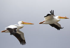 White pelican pair in flight Royalty Free Stock Images
