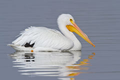 White Pelican (Pelecanus erythrohynchos) Royalty Free Stock Images