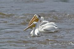 White Pelican (Pelecanus erythrorhynchos) Royalty Free Stock Photography