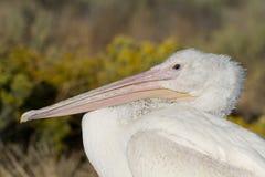 White Pelican, Pelecanus erythrorhynchos Stock Photo