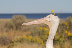 White Pelican, Pelecanus erythrorhynchos Royalty Free Stock Photo