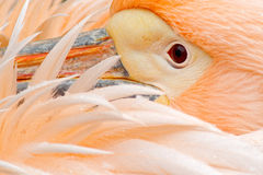 White Pelican, Pelecanus erythrorhynchos, with feathers over bill, detail portrait of orange and pink bird, Bulgaria. Europe Stock Photography